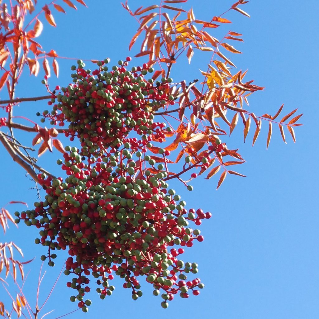 Close up of two clusters of pepper tree berries