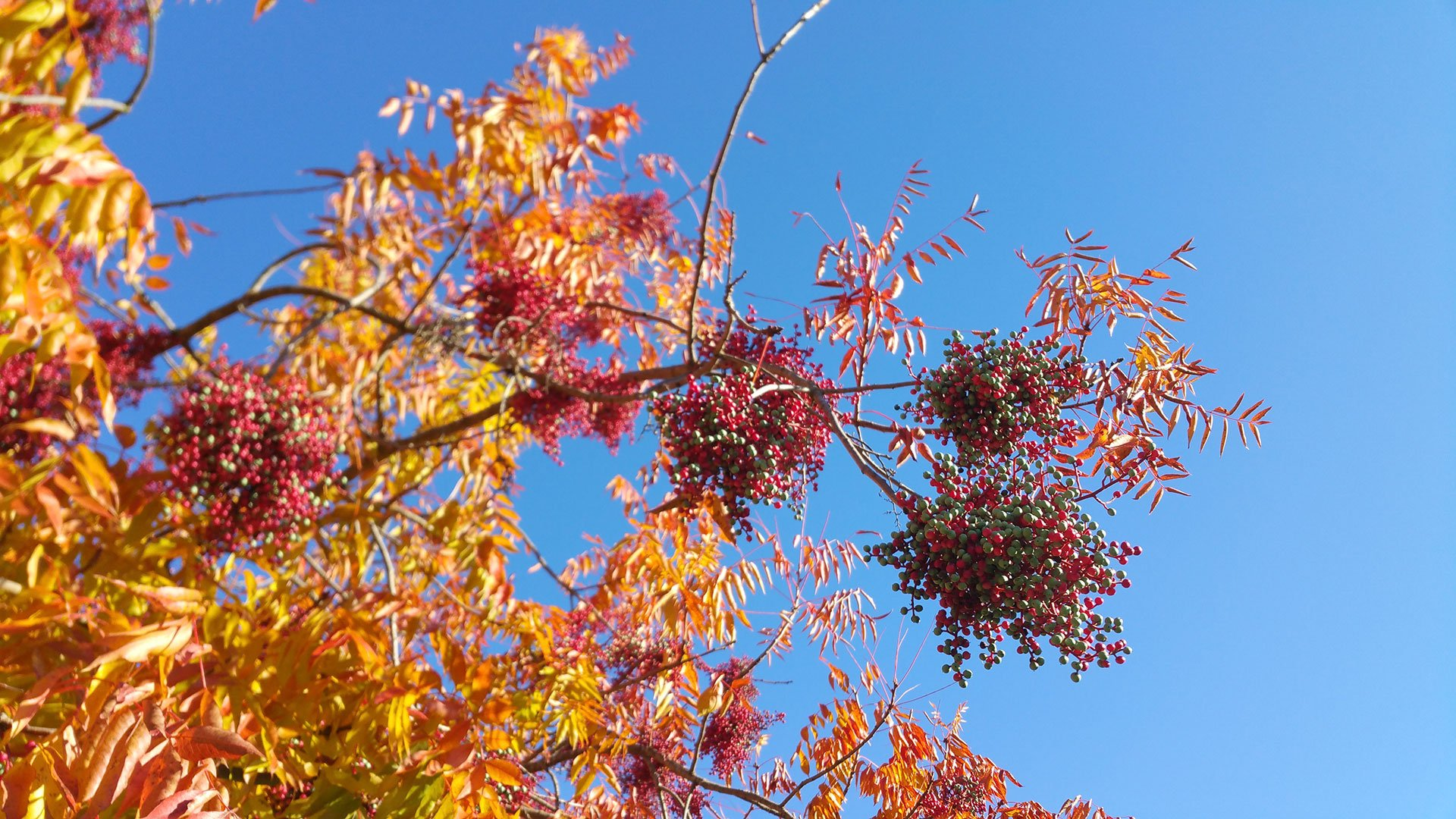Yellow orange Fall foliage of a pepper tree with berries going from green to red against a pale azure blue sky