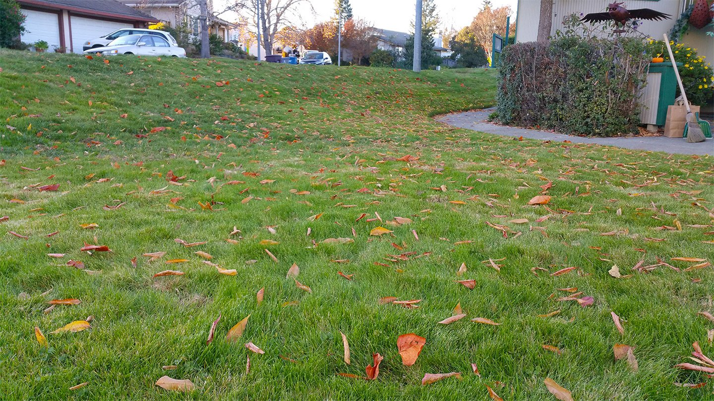 A green lawn strewn with a multitude of fallen leaves